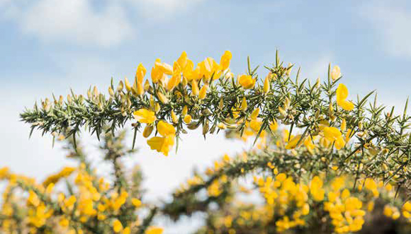 L'ajonc breton fleurit sous les tropiques