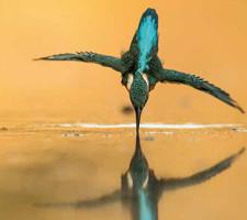 L'instant subaquatique du martin-pêcheur