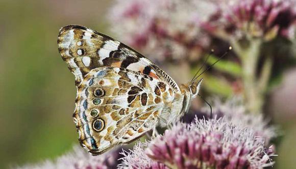 Papillons diurnes cherchent landes et prairies